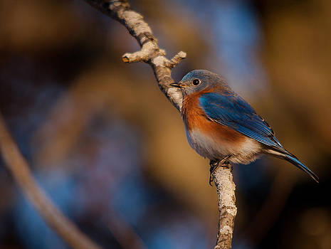 Bluebird of Happiness by Dave Weth