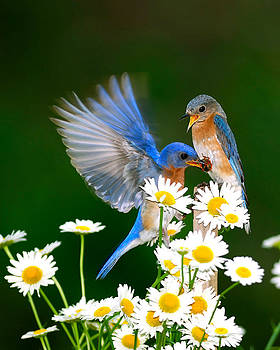 Randall Branham - Bluebirds and Daisies