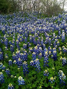 Bluebonnets by Shara  Wright