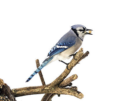 Bluejay1 by Marty Maynard