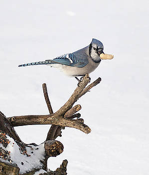 Bluejay10 by Marty Maynard