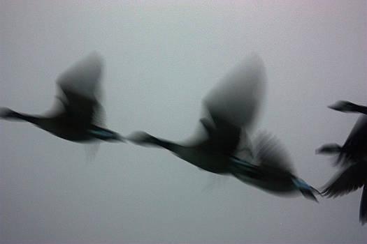 Blurred Geese by Karl Gebhardt