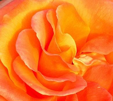 Blush Rose by Christine Maeda
