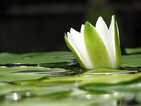 Bodhi by Sue  Thomson