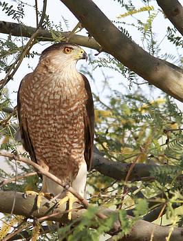 Bold Hawk by Gregory Johnson