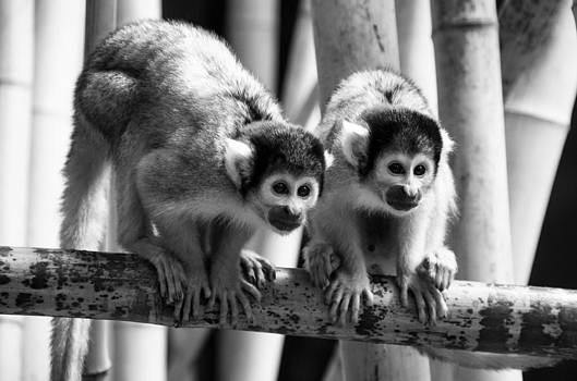 Martina Fagan - Bolivian Squirrel Monkeys