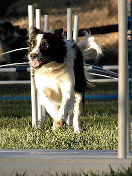Border Collie training dog agility by Lisa Anne McKee
