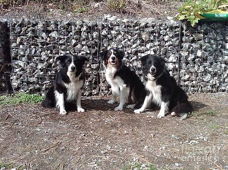 Border Collies by Vicky  Hutton
