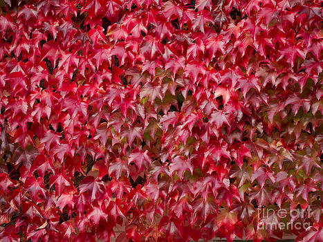 Boston Ivy by Elizabeth Debenham