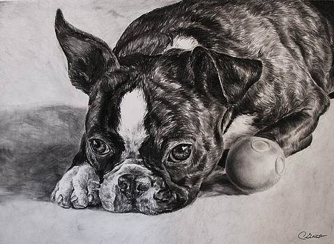 Boston Terrier Dog by Cassandra Gallant