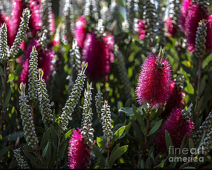 Bottle Brush in Flower by Serene Maisey