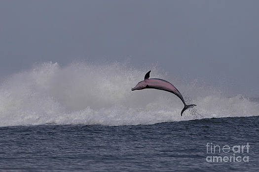 Bottlenose Dolphin Photo by Meg Rousher