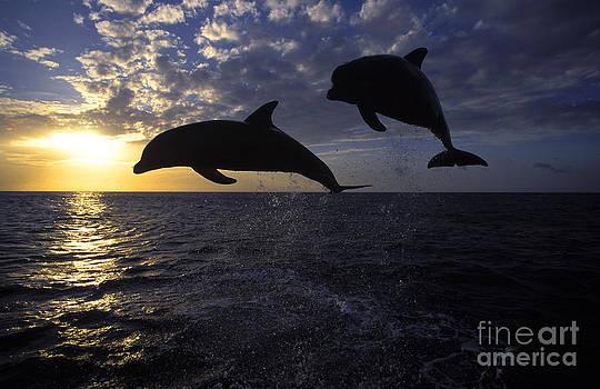 Francois Gohier - Bottlenose Dolphin Tursiops Truncatus