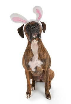 Boxer Bunny by Suzi Nelson