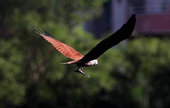 Ramabhadran Thirupattur - Brahminy Kite With Catch