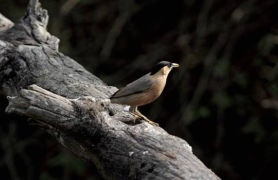 Ramabhadran Thirupattur - Brahminy Starling