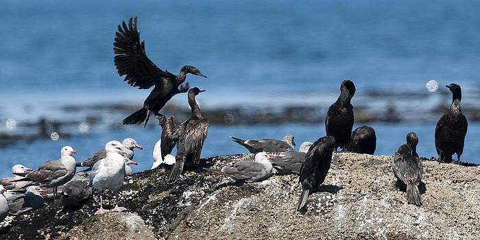 Brandt's Cormorants by Chad Davis