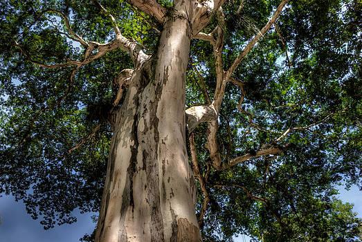 Caesalpinia leiostachya - Pau Ferro - Brazil by Igor Alecsander