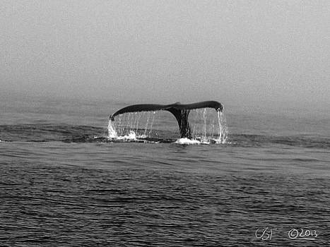 Breaching Humpback 1 by Chris Fieldhouse