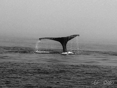 Breaching Humpback 2 by Chris Fieldhouse