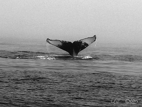 Breaching Humpback 3 by Chris Fieldhouse