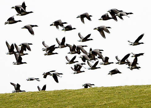 Brent geese over the dyke by Frits Selier