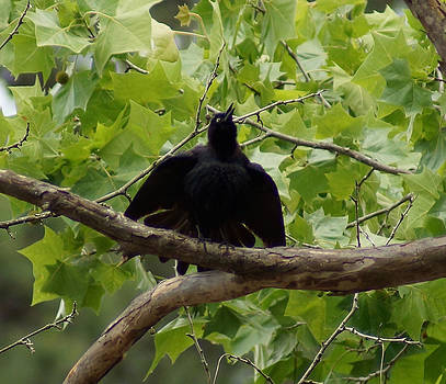 Brewers Blackbird in The American Sycamore by Kim Pate