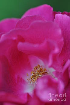 Bright Pink Rose by Tracy Lamus