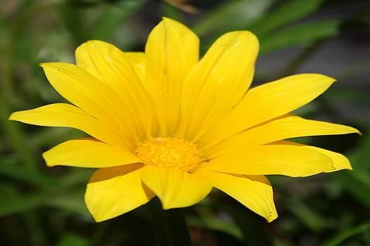 Tracey Harrington-Simpson - Bright Yellow Gazania Flower