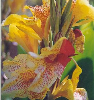 Brilliant Canna Lilies by Robert Bray