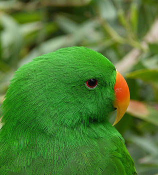 Margaret Saheed - Brilliant Color Of The Eclectus Parrot