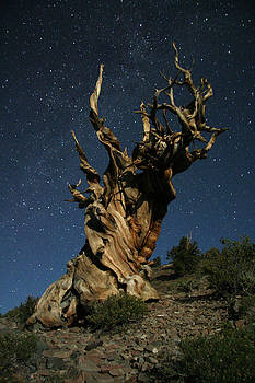 Bristlecone by Moonlight by Karen Lindquist