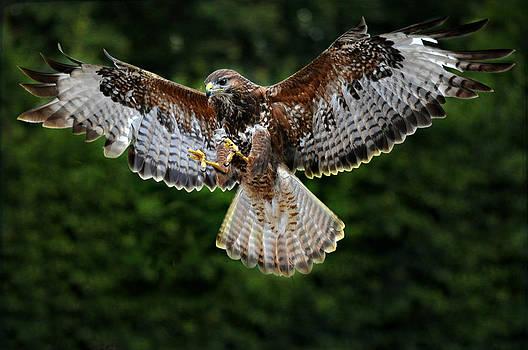 British Buzzard Wings Spread by Bev  Brown
