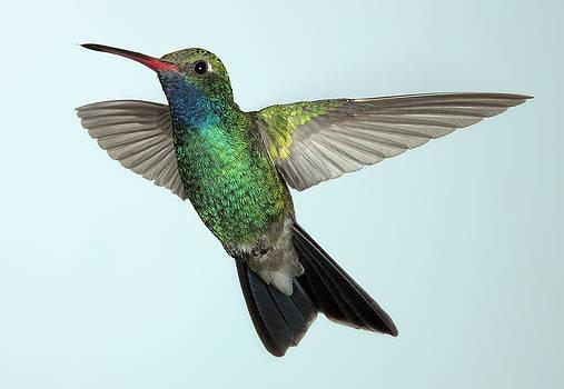 Gregory Scott - Broad-billed Hummingbird - Into the Light