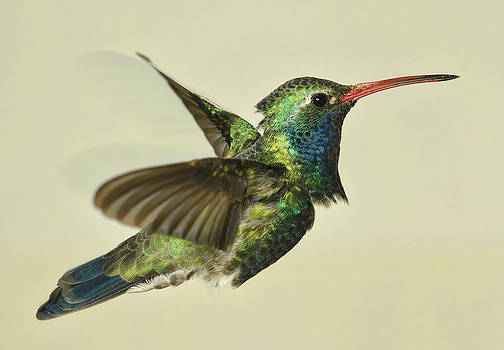 Gregory Scott - Broadbill Hummingbird - Variant