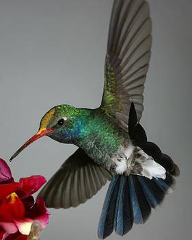 Gregory Scott - Broadbill hummingbird with Pollen Cap