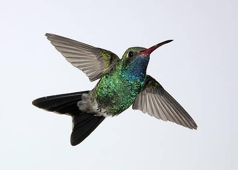 Gregory Scott - Broadbilled Hummingbird Rising