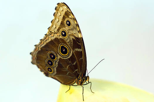 Terry Thomas - Brown Butterfly with colorful eye shaped dots