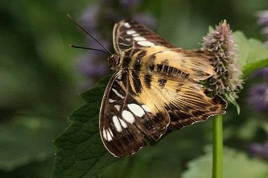 Rosanne Jordan - Brown Clipper Butterfly