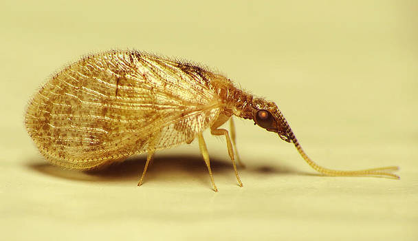 Brown Lacewing Fly by Walter Klockers