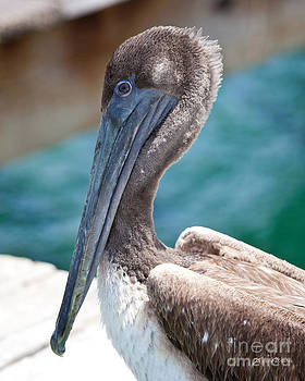 Michelle Wiarda - Brown Pelican Friend II