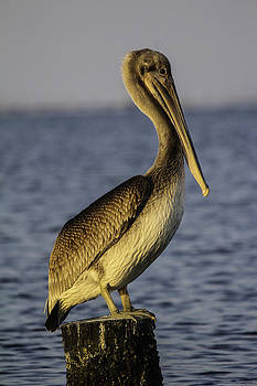 Brown Pelican1 by Michael Touchet