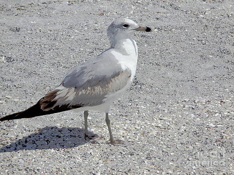 Brown Tailed Gull by Jeanne Forsythe