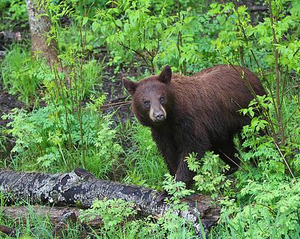 Gerry Sibell - Brownie the Black Bear
