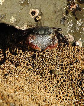 Donna Blackhall - Bubbles The Crab