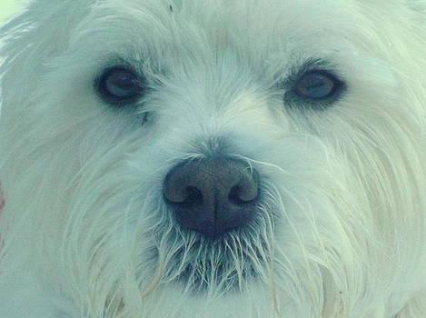 Buddie West Highland Terrier by Bill Lighterness