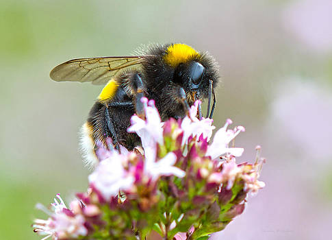 Steven Poulton - Buff Tailed Bumblebee