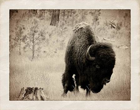 Buffalo by Jim Cortez