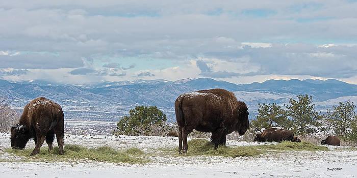 Buffalo on the High Plains by Stephen  Johnson