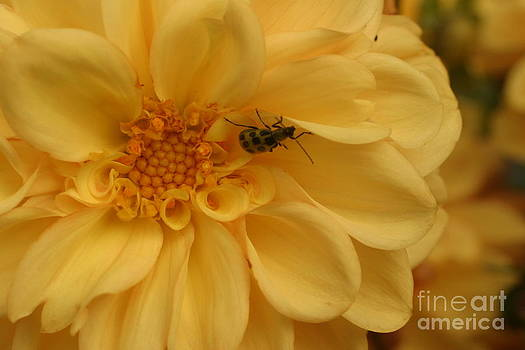 Bugged Dahlia by Lisa Conner